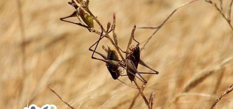 آفات و بیماری های گندم وراه های مقابله با آن