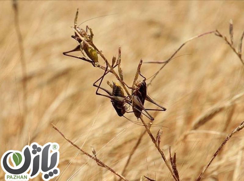ملخ-گندم-شرکت-توسعه-صنعت-و-کشاورزی-طلای-سپید-شرق-(پاژن)