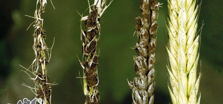 بیماری های گندم را بشناسید