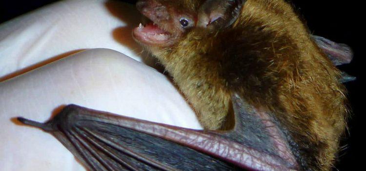 خفاش در خدمت کنترل بیولوژیکی آفات